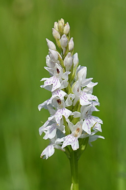 Common spotted orchid (Dactylorhiza fuchsii), pale form, flowering in a traditional hay meadow, Wiltshire, England, United Kingdom, Europe