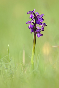 Green-winged orchid (Orchis) (Anacamptis morio) flowering in a traditional hay meadow, Wiltshire, England, United Kingdom, Europe