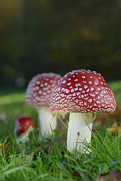 Fly agaric toadstools (Amanita muscaria) growing in grassland, Coate Water Country Park, Swindon, Wiltshire, England, United Kingdom, Europe