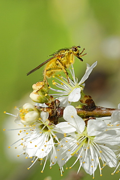 Male yellow dung fly (Scathophaga stercoraria) standing on blackthorn flowers (Prunus spinosa), cleaning its proboscis, Wiltshire, England, United Kingdom, Europe