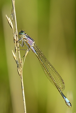 Female blue-tailed damselfly (Ischnura elegans), violet form, resting on a dried grass stem, Creech Heath, Dorset, England, United Kingdom, Europe