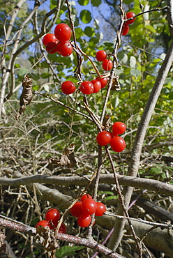 Black bryony berries (Dioscoria communis) on climbing stems in woodland, Gloucestershire Wildlife Trust Lower Woods nature reserve, Gloucestershire, England, United Kingdom, Europe