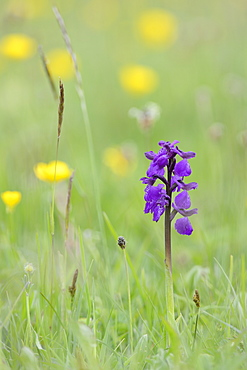 Green-winged orchid (Orchis) (Anacamptis morio) flowering in a hay meadow alongside meadow buttercups (Ranunculus acris), Wiltshire, England, United Kingdom, Europe