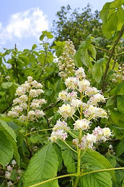 Horse chestnut (Aesculus hippocastanum) flower candelabras, Wiltshire, England, United Kingdom, Europe