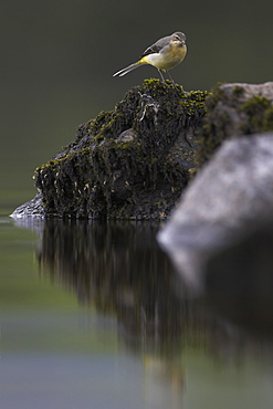 Grey Wagtail (Motacilla cinerea) with some juvenille plumage amongst rocks. Wagtails search for food along the shores of the loch in amongst the rocks, sometimes pausing to asses the situation..  Argyll, Scotland