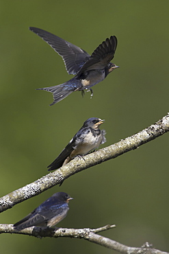 Swallow (Hirundo rustica) juveniles begging for food, with one maneuvering for good position, in mid flight. Loch Awe. Argyll. Scotland, UK - 995-227