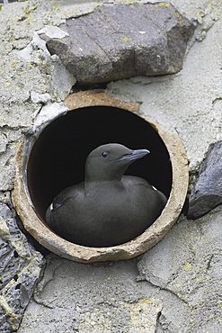 Black Guillemot (Cepphus grylle) sitting in a drain pipe that a pair are nesting in. Black Guillemots nest in drains and holes in the sea wall in the middle of Oban town centre. Argyll, Scotland, UK