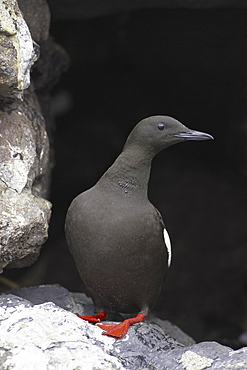 Black Guillemot (Cepphus grylle) standing in a wall that a pair are nesting in. Black Guillemots nest in drains and holes in the sea wall in the middle of Oban town centre. Argyll, Scotland, UK