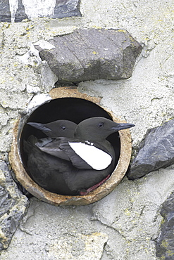 Black Guillemot (Cepphus grylle) pair standing in a drain pipe that they are nesting in. Black Guillemots nest in drains and holes in the sea wall in the middle of Oban town centre. Argyll, Scotland, UK