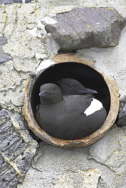 Black Guillemot (Cepphus grylle) pair sitting in a drain pipe that they are nesting in. Black Guillemots nest in drains and holes in the sea wall in the middle of Oban town centre. Argyll, Scotland, UK