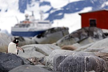 Gentoo Penguin perching on rocks, Antarctica, Antarctic Peninsula
