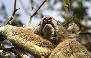 Low angle of Koala on tree, Australia