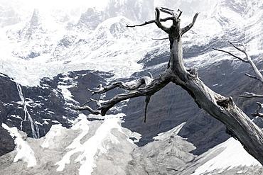 Dead tree in front of Cordillera del Paine, Chile