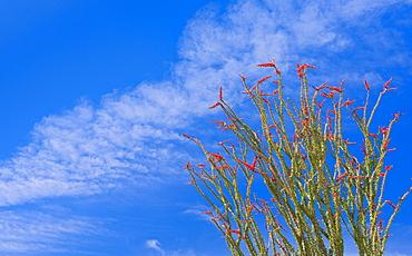 USA, California, Joshua Tree National Park, Ocotillo cactus, USA, California, Joshua Tree National Park