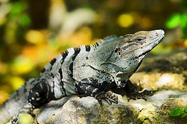 Iguana basking in sunlight