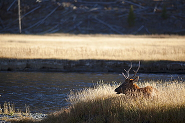 Elk resting by river, USA, Montana, Yellowstone National Park