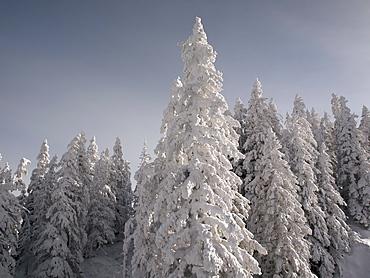 Snowcapped forest, Maria Alm, Austria