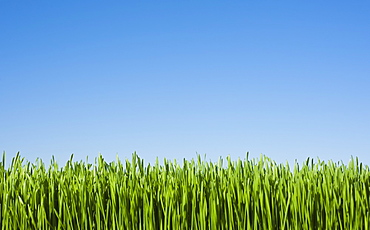 Field of grass with blue sky