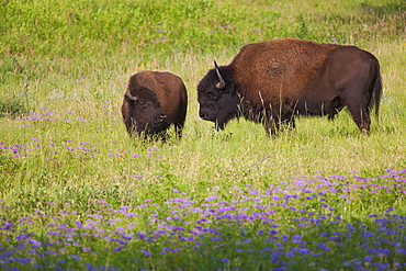 USA, South Dakota, American bison (Bison bison) with calf in Custer State Park