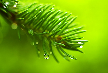 Coniferous branch with dew