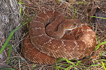 Rattlesnake coiled in grass