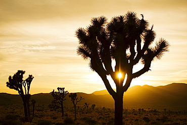 USA, California, Joshua Tree National Park, Joshua trees silhouetted at sunset, USA, California, Joshua Tree National Park