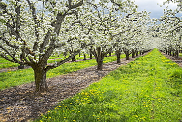 Apple trees blooming in orchard, Hood River, Oregon