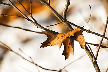 Leaf on twig, Walden Pond, Concord, Massachusetts