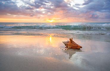 Conch shell on beach, Jamaica
