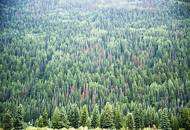 Pine Trees Telluride Colorado USA