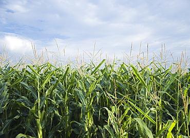 Cornfields in Minnesota USA