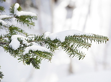 Snowy branch in winter