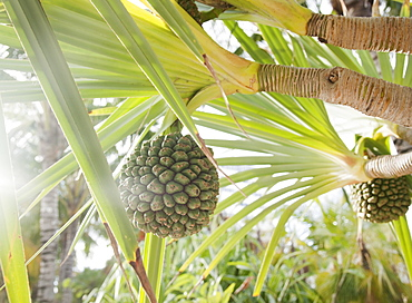 Close up of tropical plant and fruit