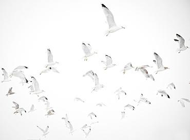 USA, New York State, Rockaway Beach, seagulls in flight