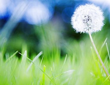 Dandelion in meadow