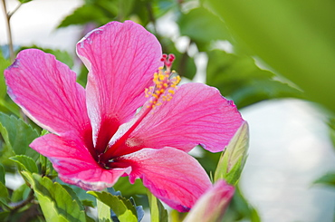 Close-up of pink hibiscus