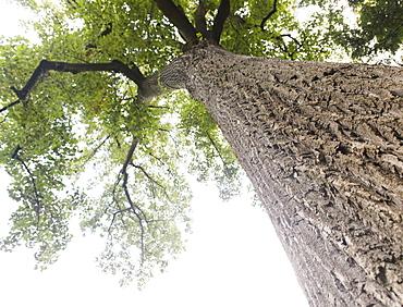 Upward view of old tree