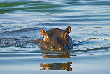 Hippopotamus swimming in river