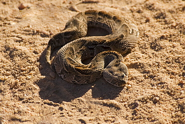 High angle view of coiled snake in sand