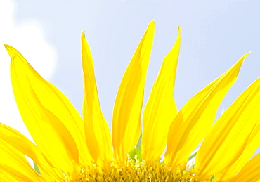 Close-up view of sunflower petals
