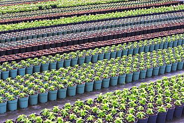 Rows of nursery plants