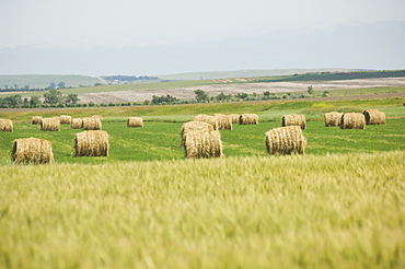 View of wheat field and hay bales