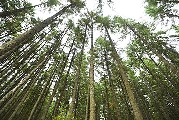Towering trees, Hood River, Oregon