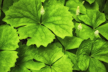 Close-up of green leaves, Tillamook County, Oregon