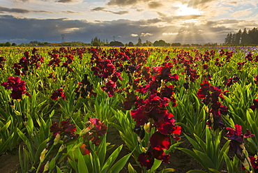 Iris growing on field at sunset, Marion County, Oregon