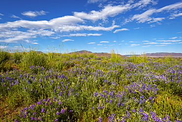 Wildflowers in meadow, Harney County, Oregon