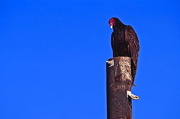 Mexico, Turkey Vulture perching on pole, Mexico;