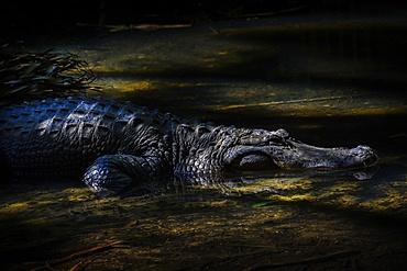 Crocodile in water, Palm Beach, Florida