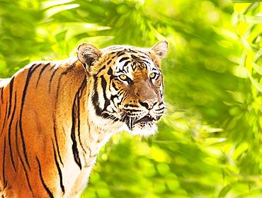 Close up of tiger, West Palm Beach, Florida