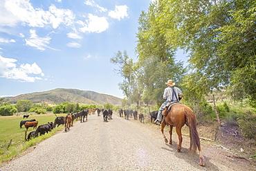 Cowboy with cattle, Colorado